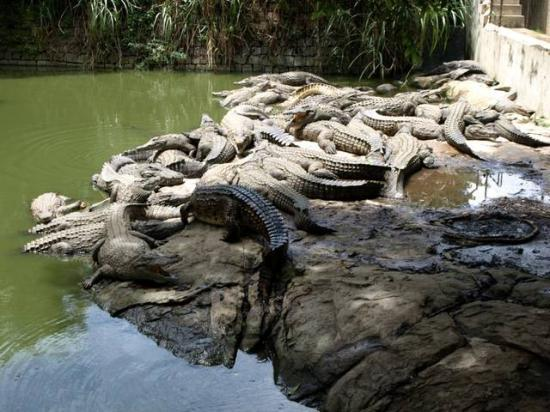Élevage de crocodiles à Croc-Farm